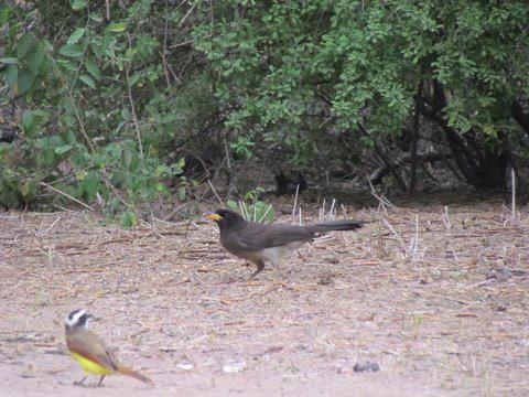 Brown Jay, next to the robin-sized Kisskadee