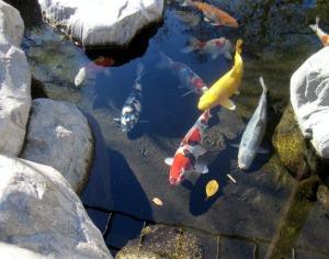 Koi, Japanese Tea Garden, Balboa Park, San Diego, CA