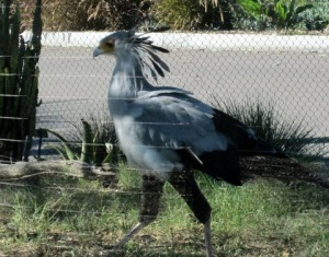 Secretary Bird at the San Diego Zoo