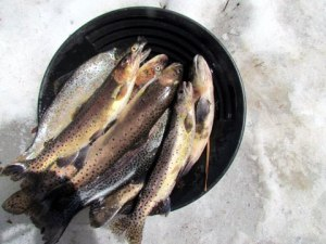 Picture of trout in a pan, surrounded by snow