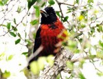 Male Crimson-collared Grosbeak
