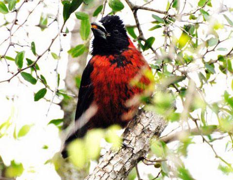 Male Crimson-collared Grosbeak