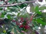 Brazilian Peppertree berries