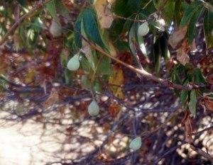 California Buckeye Seed Pods