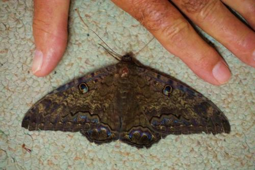 Black Witch Moth, Dorsal View