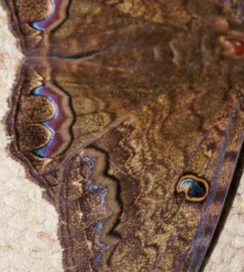 Black Witch Moth, Wing Close-up