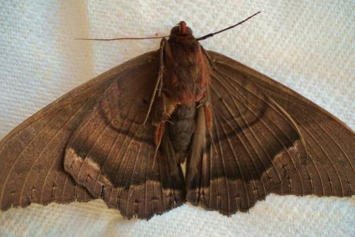 Black Witch Moth, Ventral View