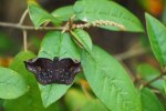 Sickle-winged Skipper