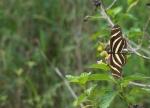 Zebra Heliconium