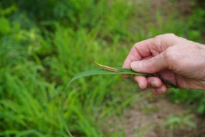 Cattail Toothpick Grasshopper