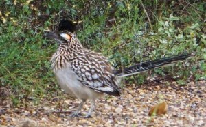 Roadrunner with eye patch clearly visible
