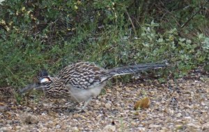 Roadrunner hunting for lunch
