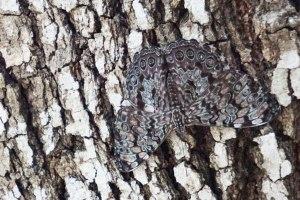 Guatemalan Cracker Butterfly