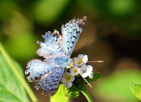 The Metalmark Butterfly