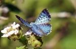 Metalmark Butterfly