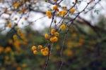 Huisache Tree Blossoms