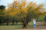 Huisache Tree in Bloom