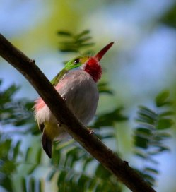 The Cuban Tody