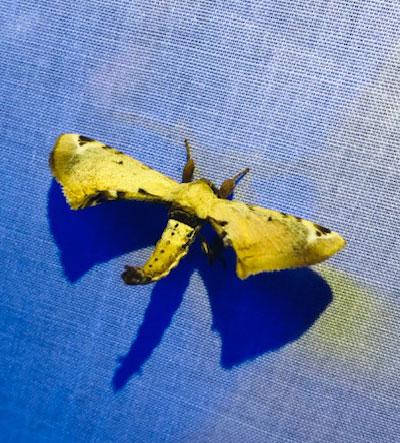 This moth looks a bit like a WWI bi-plane