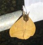 This moth has a secret