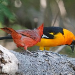 Cardinal and Hooded Oriole