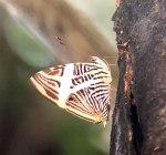 Dirce Butterfly