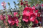 Hollyhocks Against the Fence